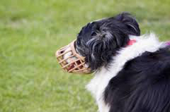 muzzled collie